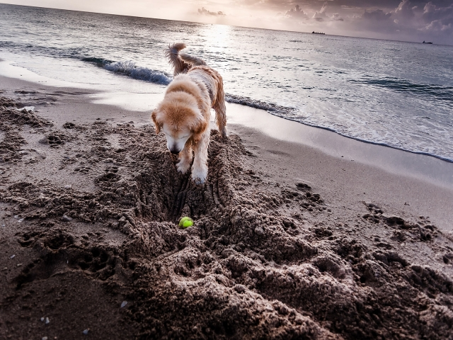 A dog looking for the tennis ball by digging a hole in the sand
