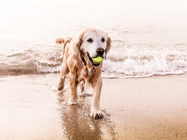 A dog coming out of the water with a tennis ball in its mouth